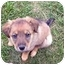 Photo 1 - Golden Retriever/Shepherd (Unknown Type) Mix Puppy for adoption in McArthur, Ohio - HUDSON