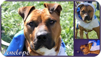 American Staffordshire Terrier/Pit Bull Terrier Mix Dog for adoption in Toledo, Ohio - Penelope