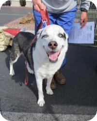 Border Collie Mix Dog for adoption in Las Vegas, Nevada - Maui