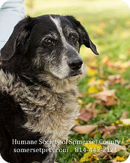Cattle Dog/Basset Hound Mix Dog for adoption in Somerset, Pennsylvania - Chelsea