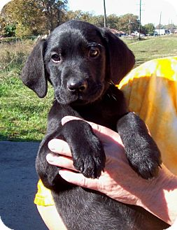 Labrador Retriever Mix Puppy for adoption in Glastonbury, Connecticut - CHEVY