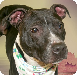 Pit Bull Terrier Mix Dog for adoption in Cincinnati, Ohio - Lady
