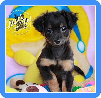 Chihuahua Mix Puppy for adoption in Wilmington, Delaware - Tank