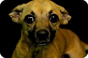 Terrier (Unknown Type, Small)/Dachshund Mix Dog for adoption in Fort Smith, Arkansas - Shep