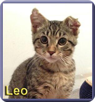 Domestic Shorthair Kitten for adoption in Aldie, Virginia - Leo