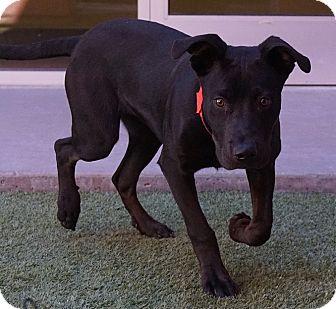 Labrador Retriever Mix Dog for adoption in Farmington, New Mexico - Manny