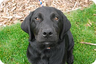 Labrador Retriever Mix Puppy for adoption in Twin Falls, Idaho - Frohike
