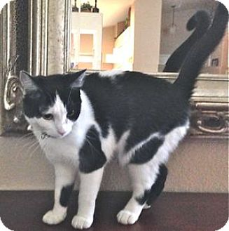 Domestic Shorthair Cat for adoption in Colorado Springs, Colorado - Lucy