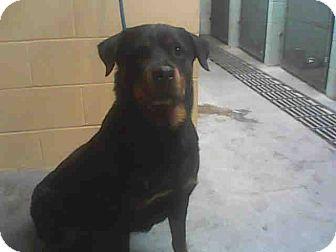Rottweiler Dog for adoption in Tracy, California - Terra