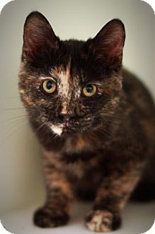 Domestic Shorthair Cat for adoption in Parma, Ohio - Starlight