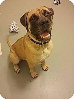 Bullmastiff Dog for adoption in Metairie, Louisiana - Zydeco- Adoption Pending