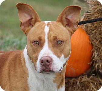 Staffordshire Bull Terrier/Australian Cattle Dog Mix Dog for adoption in Marietta, Ohio - Thor
