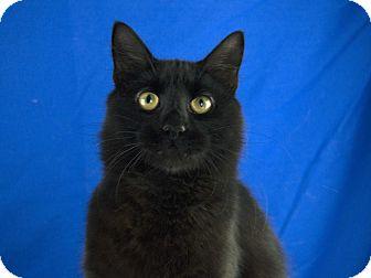 Domestic Mediumhair Cat for adoption in LAFAYETTE, Louisiana - MOTLEY