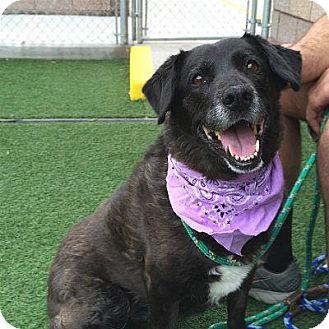 Labrador Retriever Mix Dog for adoption in Denver, Colorado - Nyoby