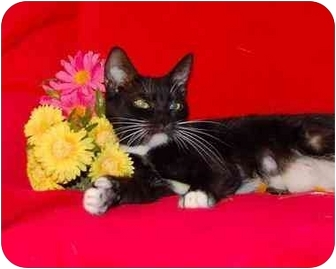 Domestic Shorthair Cat for adoption in Taylor Mill, Kentucky - Zoe