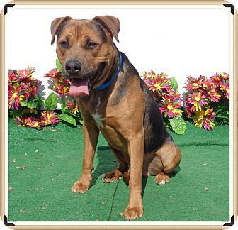Rottweiler/Labrador Retriever Mix Dog for adoption in Marietta, Georgia - RICO