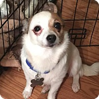 Chihuahua Mix Dog for adoption in Alpharetta, Georgia - Annabeth