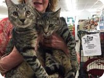 Domestic Shorthair Kitten for adoption in Bear, Delaware - William and Kate