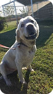 Great Pyrenees Mix Dog for adoption in Pulaski, Tennessee - Josie