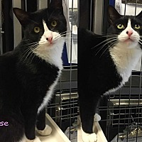 Adopt A Pet :: ROSE - Cliffside Park, NJ