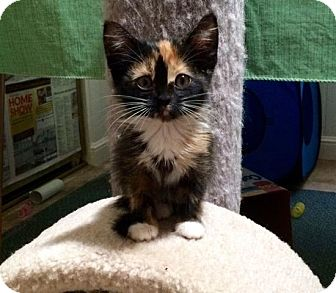 Domestic Shorthair Kitten for adoption in Alamo, California - LaVerne