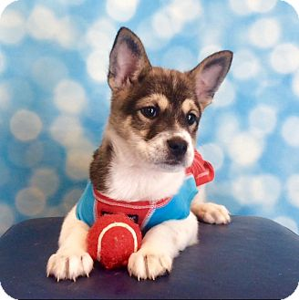 Husky/Shepherd (Unknown Type) Mix Puppy for adoption in West Seneca, New York - Tater Tot