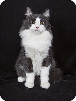 Maine Coon Cat for adoption in Nashville, Tennessee - Kyndle