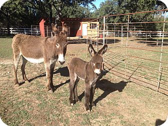 Donkey/Mule/Burro/Hinny for adoption in Austin, Texas - Tilly