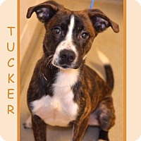 Adopt A Pet :: TUCKER - Dallas, NC