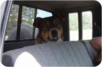 Catahoula Leopard Dog/Australian Cattle Dog Mix Dog for adoption in Pie Town, New Mexico - REX