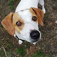 Hound (Unknown Type)/Beagle Mix Dog for adoption in Jackson, New Jersey - JOCKO