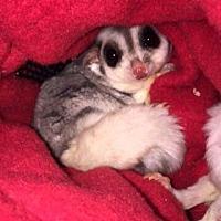 Adopt A Pet :: Cosmos - St. Paul, MN