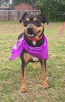 Miniature Pinscher Mix Dog for adoption in Texarkana, Texas - FCI in Texarkana, TX