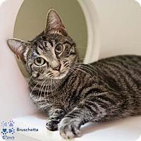 Adopt A Pet :: Bruschetta - Merrifield, VA