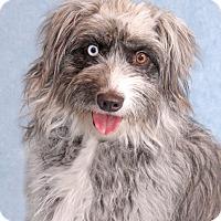 Adopt A Pet :: Mopsy - Encinitas, CA