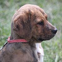 Adopt A Pet :: Brownie - Staunton, VA