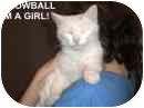 Domestic Mediumhair Cat for adoption in Grove City, Ohio - Snowball