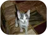 Domestic Shorthair Kitten for adoption in Tampa, Florida - Jaycee