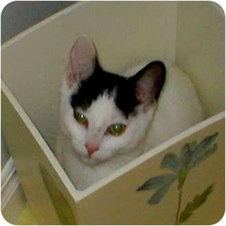 Domestic Shorthair Kitten for adoption in Toronto, Ontario - Nicki