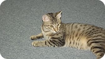 Bengal Cat for adoption in Stockton, Missouri - Danny Boy