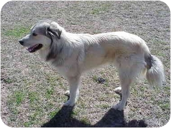 Great Pyrenees Dog for adoption in Kyle, Texas - <b>Barkley