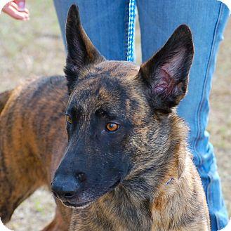German Shepherd Dog Mix Dog for adoption in Preston, Connecticut - Beau