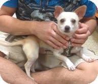 Chihuahua Dog for adoption in Modesto, California - Randy