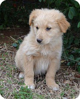 Golden Retriever/Collie Mix Puppy for adoption in Westport, Connecticut - *Gracie - PENDING