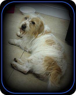 Terrier (Unknown Type, Medium)/Corgi Mix Dog for adoption in Indian Trail, North Carolina - Scruffy