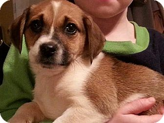 Jack Russell Terrier/Australian Cattle Dog Mix Puppy for adoption in Baltimore, Maryland - Aurora