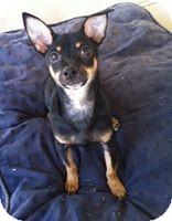 Australian Kelpie Mix Puppy for adoption in Las Vegas, Nevada - Hero