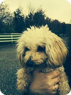 Poodle (Miniature)/Poodle (Miniature) Mix Dog for adoption in Bellingham, Washington - Lucky