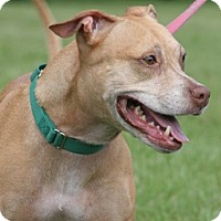 American Staffordshire Terrier Mix Dog for adoption in North Fort Myers, Florida - Jewels