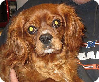 King Charles Spaniel Dog for adoption in Salem, New Hampshire - Charlie Brown